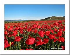 Poppies (Lourdes S.C.) Tags: paisaje poppies amapolas campodeamapolas provinciadejan