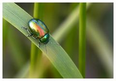 Tansy Beetle. (vegetus aer) Tags: none wildlife beetle cambridgeshire tansy wildlifetrust woodwaltonfen nnr greatfen greatfenproject bcnwildlifetrust