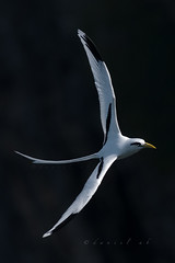 hidden treasure, in the shadows of our cliffs (daniel ab 2007) Tags: red whitetailedtropicbird tropicbird bird whitetailed buntutsateputih