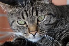 DSC00112 (mikki65gmail.com) Tags: cat cast gatto micio tigrato