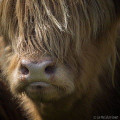 Time to be pampered !!! (Sue MacCallum-Stewart) Tags: portrait england animal cow cattle derbyshire bakewell highlandcow