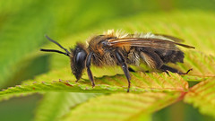 Bee on Leaf (ajg_steyning) Tags: macro garden insect leaf bee