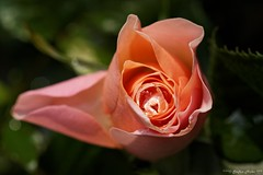 Rosenblte mit Wassertropfen (stefanmohr02) Tags: rose canon makro blte wassertropfen 105mm eos70d
