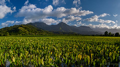 Taro Fields of  Hanalei Valley (Fort Photo) Tags: travel panorama green nature field rural landscape hawaii islands nikon farm pano farming scenic kauai tropical fields tropics taro d500 hanaleivalley kalo agirculture menefee michaelmenefee