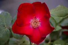 Buon fine settimana a tutti - Good weekend everyone (Marco Ottaviani on/off) Tags: red plants flower nature canon weekend rosa natura fiore piante rosso rosaceae marcoottaviani