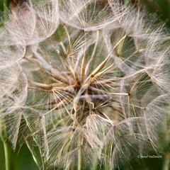 07-IMG_2434 (hemingwayfoto) Tags: blume bocksbart natur samenstand schirmchen tragopogonpratensis wiesenbocksbart wiesenblume