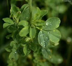 PPP - S24 : ... Et autres plaisirs minuscules (odilecuvit) Tags: nature eau pluie gouttes trfle minuscule mouill averse dlicatesse gouttelettes dlicat