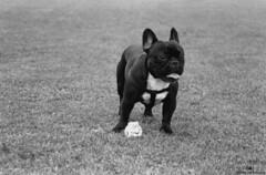 Analog #9 Dog days. | Da de perros. (Chasing the exposure.) Tags: light portrait blackandwhite dog blancoynegro luz animal analog ball french day retrato bulldog days perro da das pelota analgico francs chasingtheexposure