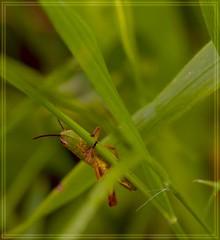 green green grass of home (nickneykov) Tags: macro nikon bulgaria d750 grasshopper tamron 90mm nikond750