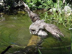 Bath Time .... (Mr. Happy Face - Peace :)) Tags: bird nature pool bath h2o owl hoot greatgreyowlstrixnebulosa art2016
