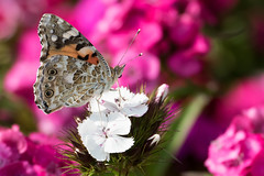 Painted Lady Butterfly Germany June 2016 (jgsnow) Tags: butterfly insect paintedlady