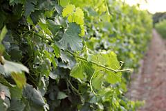 Green Grape Leaves (Dawna Kay) Tags: summer green living vineyard country grapes lodicalifornia