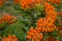 Butterfly Weed (Tim Stinger) Tags: butterfly tim weed arboretum stinger morton mortonarboretum butterflyweed timstinger