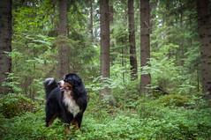 Summer forest (MiiaToivonen) Tags: summer dog green nature forest suomi finland hund bernesemountaindog mets kes luonto bernersennenhund koira vihre berninpaimenkoira nisks