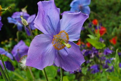 Blue Poppy. (artanglerPD) Tags: blue orange plant green yellow stamens poppy stigma unidentified