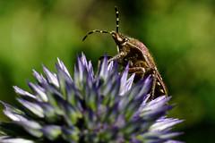 2016 06 26 Gartenmakros - 16 (Mister-Mastro) Tags: diestel makro schlupfwespe wanze macro garden thistle bug
