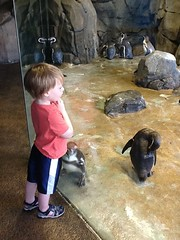 "Paul Watches Penguins at the Kansas City Zoo • <a style=""font-size:0.8em;"" href=""http://www.flickr.com/photos/109120354@N07/27821709946/"" target=""_blank"">View on Flickr</a>"