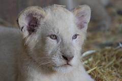 White Lion cub 2016-06-15-0066 (bzd1) Tags: nature mammal animal carnivore lion cub felidae panthera pantheraleo damnevillezoo