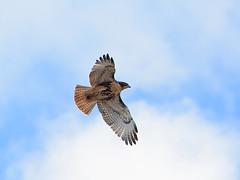 Fledge in Flight - 0298 (rbs10025) Tags: nyc bird upperwestside redtailedhawk buteojamaicensis manhattanvalley