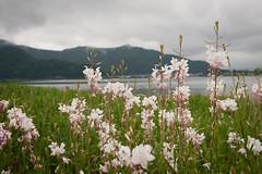 (lonerasser) Tags: flowers japan mountfuji bikeride blomster cykeltur