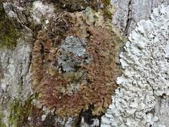 Lobaria virens, Degelia atlantica and Lobaria amplissima (aburgh) Tags: lobaria degelia foliose corticolous lichen macrolichens isleofskye blsfieldmeeting