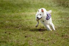 DSC_4113 (TDG-77) Tags: dog pet dogs animal nikon running d750 nikkor f28 flyball chasing 70200mm unleashed vrii