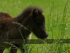 Happy Fence Friday :) (joeke pieters) Tags: 1270575 panasonicdmcfz150 hff pony veulen foal hek fence boelekeerlspad achterhoek gelderland nederland netherlands holland