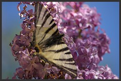 "Papillon ""le Flamb"" IMGP6060 (robert.fr.22) Tags: flowers fleurs insectes flore lilas papillons iphiclidespodalirius leflamb"