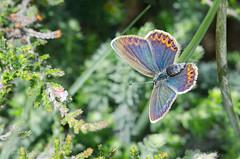silver studded blue female (sure2talk) Tags: silverstuddedblue female newforest nikond7000 nikkor85mmf35gafsedvrmicro macro closeup