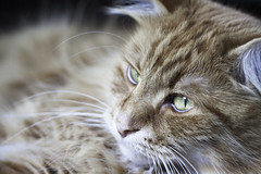 Clem Thursday: Pretending (Photo Amy) Tags: red orange pet cute cat fur ginger furry kitten feline tabby longhair adorable fluffy whiskers precious whisker cuddly cuteness longhaired aminal ef50mm18 eartufts toefur canon50d
