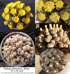 Lithops olivacea var. nebrownii, C 162B (collage) (Succulents Love by Pasquale Ruocco (Stabiae)) Tags: lithops olivacea nebrownii aizoaceae mesembs mesembryanthema mesembryanthemum mesembryanthemaceae southafrica floweringstones forumcactusco sassifioriti stabiae succulentslove succulents succulente succulent succulenta pasqualeruocco piantegrasse piantagrassa bolus mimicry mimetismo