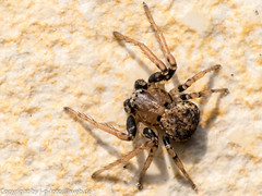Ozyptila praticola (xrxss15) Tags: animals germany tiere europe spiders tripod arachnids everydaylife arthropods animalia arthropoda crabspider arachnida spinnen macrolens araneae alltag badenwürttemberg stativ krabbenspinne raynoxdcr150 chelicerata araneomorphae thomisidae spinnentiere conversionlens ozyptila kieferklauenträger webspinnen gliederfüser ozyptilapraticola echtewebspinne fühlerlose