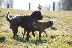 DSC_0170 (juliapee) Tags: dogs spring borderterrier dogsplaying lagotto romangolo