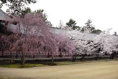 (ddsnet) Tags: travel plant flower japan sony  cherryblossom  sakura nippon  kansai  nihon hanami  backpackers   flower     nex        naraken  cherry blossom mirrorless narashi japan    flowerinjapan newemountexperience nex7
