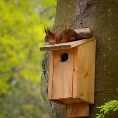 Squirrel (Rutger Blom) Tags: lund tree cute animal fur wooden squirrel europa europe sitting sweden birdhouse 100mm sverige scandinavia ekorre scania zweden observing eekhoorn canoneos5dmarkii ef100mmf28lmacroisusm