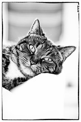 Poes just knows how to pose (Jeroen C. van Zijp) Tags: blackandwhite closeup cat eyes looking naturallight indoors sofa relaxed poes strongcontrast liedown photographerontumblr