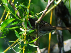 May23,2013f 071 Can you See Me Now (terrygray) Tags: sparrow