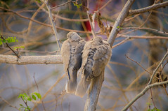 Doves on a tree (digitalnexus) Tags: two cold tree animal march couple branch sitting pigeon dove pigeons pair athens greece rawr planet doves
