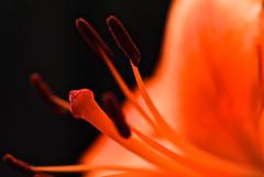 Lily, up close (phxdailyphotolady) Tags: arizona orange flower macro phoenix lily pistil stamen