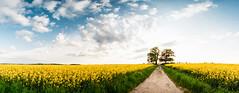 Babisnauer Pappel (Philipp Gtze) Tags: tree landscape dresden poplar landschaft raps pappel babisnau