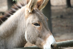 Jumento - Donkey 2011 (Conquilha) Tags: parque portugal animal mammal donkey burro jumento gaia mule mula mamfero vilanovadegaia avintes 2011 biolgico conquilha