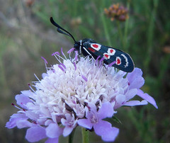 Zygaena occitanica (Bellwizard) Tags: butterfly mariposa papallona zygaenaoccitanica