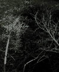 reach and sprawl (LauraSorrells) Tags: favorite abstract dark georgia digitalplay january bamboo fallen dreamlike 2012 subtle monasteryoftheholyspirit somberbeauty contemplativeprayerretreat