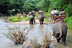 Strolling in the stream (Rosanna Leung) Tags: elephant animal river thailand stream jungle trunk chiangmai  elephantcamp  maesaelephantcamp