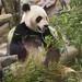 da mao the panda - toronto zoo - 06