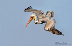 Brown Pelican (Binu John Photography) Tags: brown diving pelican american