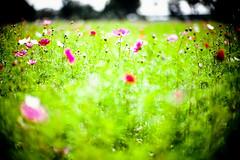 Towards the Sun (moaan) Tags: life leica light sunlight flower 50mm flora dof bokeh f10 utata flowering swirl mp noctilux cosmos fujivelvia100 leicamp 2013 inlife leicanoctilux50mmf10