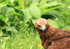 Eagle Eyes (johan.pipet) Tags: wild detail bird nature animal canon devin europe eagle slovensko slovakia palo bratislava bartos devn vtak orol barto