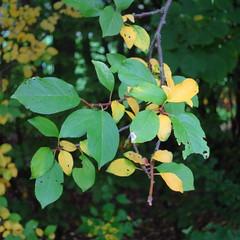 (Hkan Dahlstrm) Tags: tree green leaves skne sweden ramlsa 2013