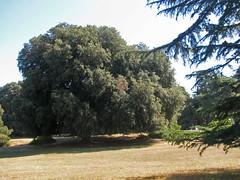 Holly oak, Brijuni, Croatia (aniko e) Tags: quercus diversity croatia istria eiche quercusilex brijuni fagaceae steineiche brijuniislands hollyoak tlgy magyaltlgy
